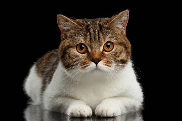 Closeup cute scottish straight lying cat face isolated black picture id543486568?b=1&k=6&m=543486568&s=612x612&w=0&h=wlompfstjyx8sgllkigg gweuh2kt384ivr2lftsif8=