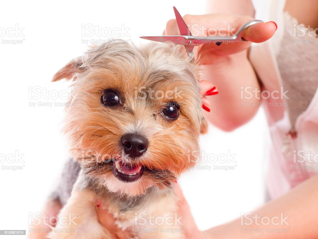 Closeup cute Yorkshire grooming stock photo