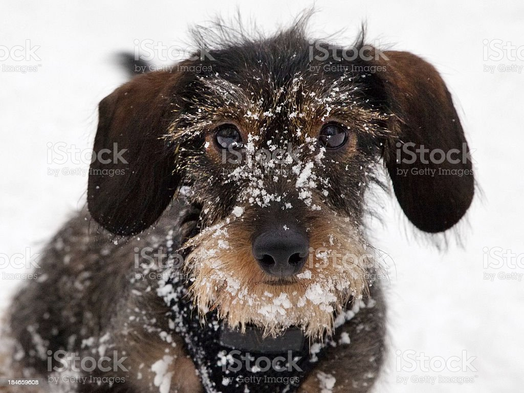 Close-up - Dachshund Puppy playing in the snow stock photo