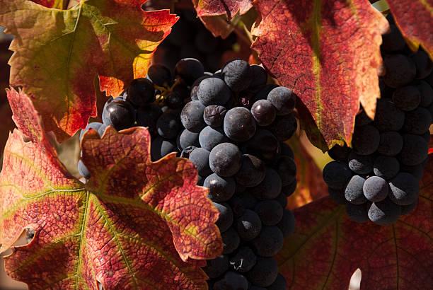 nahaufnahme dark burgundy trauben und herbst farben sonoma county, kalifornien - robert weinberg stock-fotos und bilder