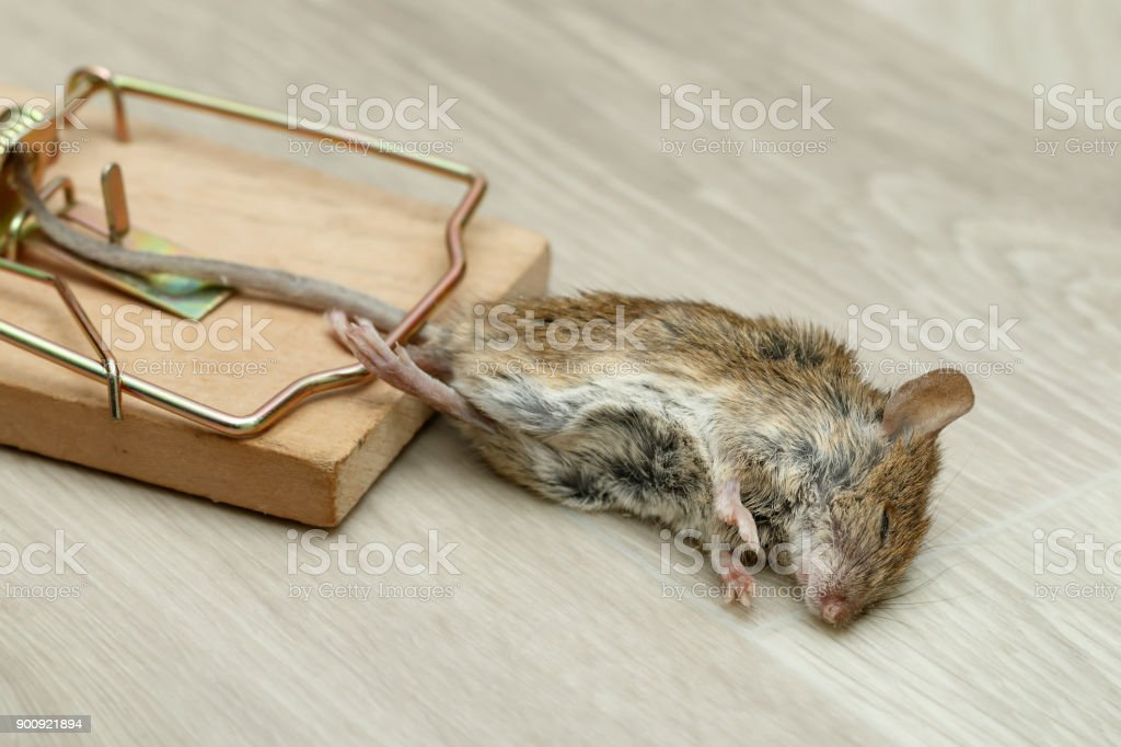 クローズ アップ死んだマウスはマウス トラップに巻き込まれました ...