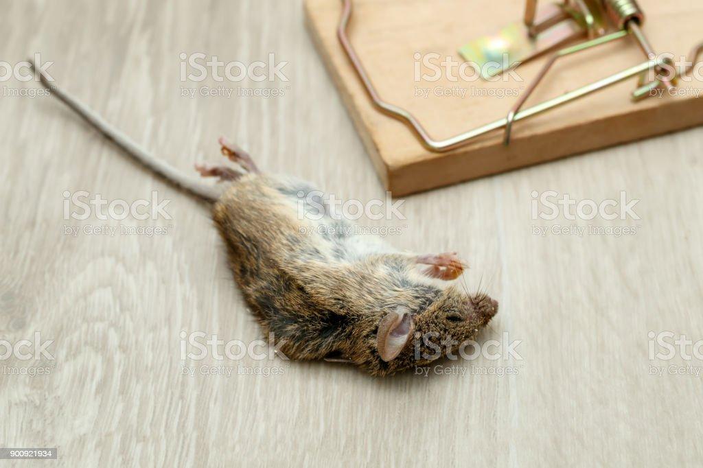 家の中の床に木製のマウス トラップの近く死んだマウスのクローズ ...