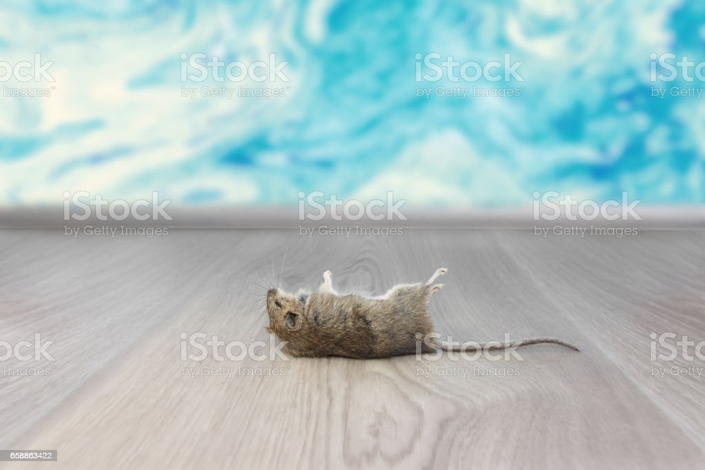 Closeup dead mouse or rat  in an apartment house on the background of the wall. Inside high-rise buildings. Fight with mouse in the apartment. Extermination. stock photo