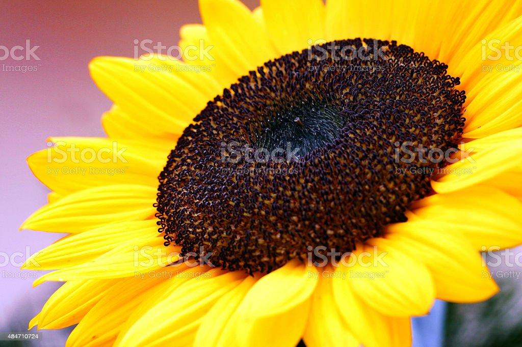 Close-Up de detalhe de uma bela girassol foto royalty-free