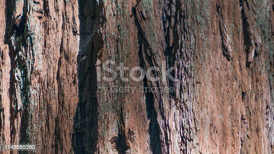 Closeup detail of bark of giant redwood in Armstrong Redwoods State Natural Reserve - Sonoma County, California