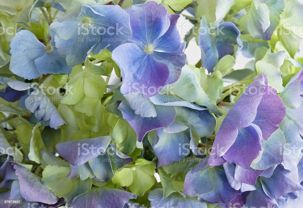 Close-up detail of blue and purple hydrangea flowerhead royalty-free stock photo