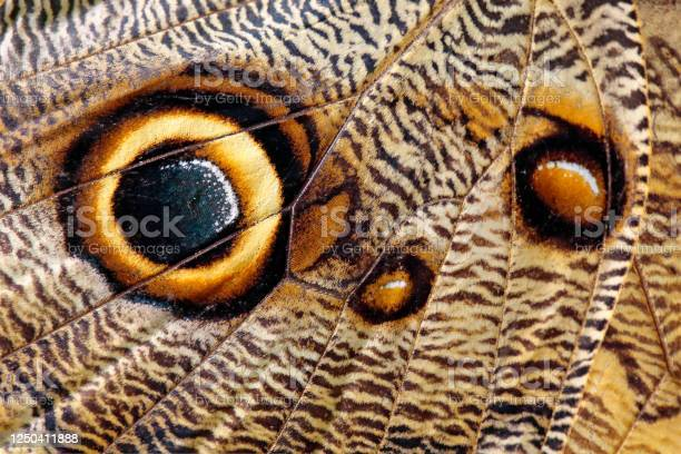 Photo of Close-up detail of butterfly wing. Blue Morpho, Morpho peleides, in habitat, Costa Rica. Eye look insect wing.