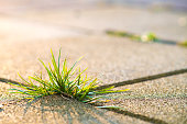 istock Closeup detail of weed green plant growing between concrete pavement bricks in summer yard. 1218582834