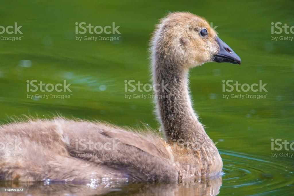Closeup detailed portrait of Canada goose gosling swimming in lake -...