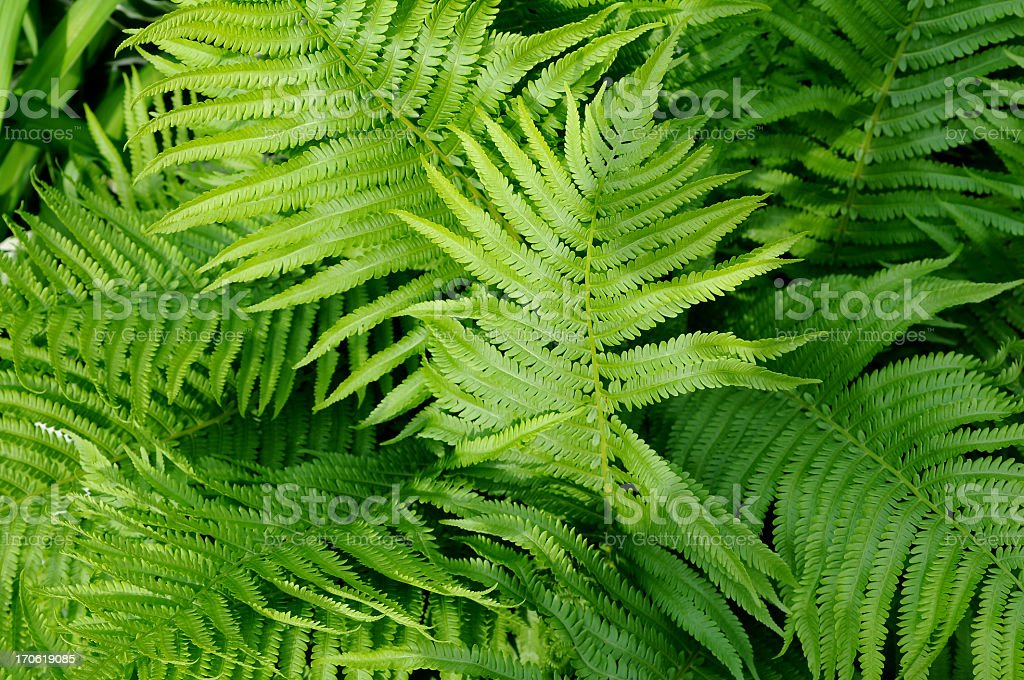 Close-up detailed view of green fern plant fronds royalty-free stock photo