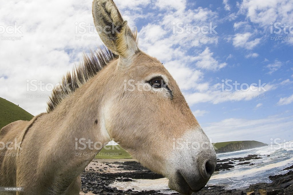 Closeup donkey at the beach South Africa stock photo