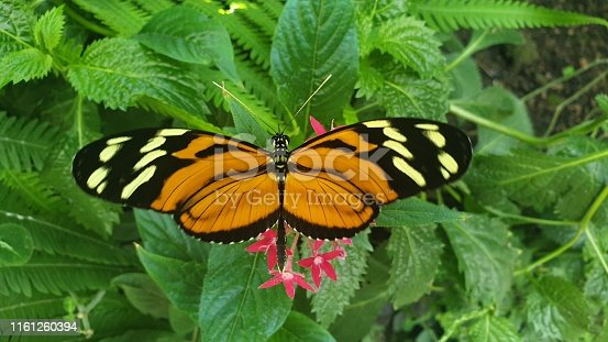 Hecale longwing, golden longwing or golden heliconian