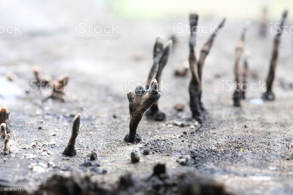 Close-up dry mushroom (Dacryopinax spathularia) stock photo