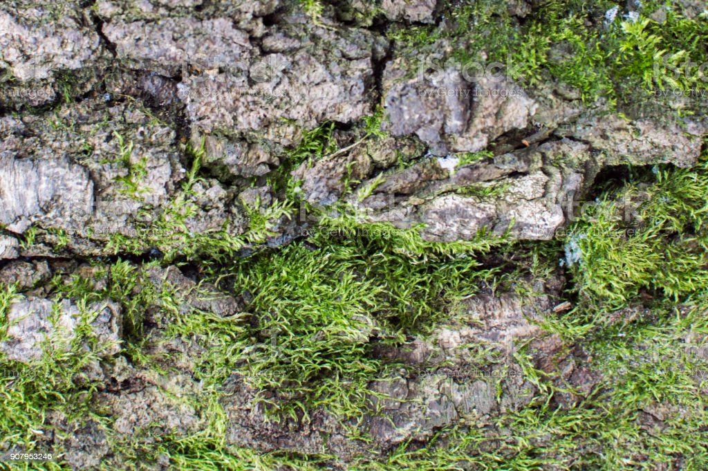 Close-up dtreailed view of the tree integument with green moss texture stock photo