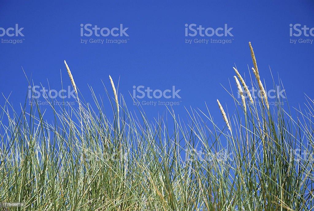 Close-up Dune Grass royalty-free stock photo