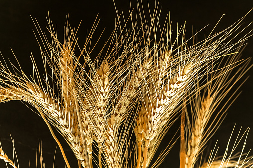 Closeup Ear wheat on black background with copy space