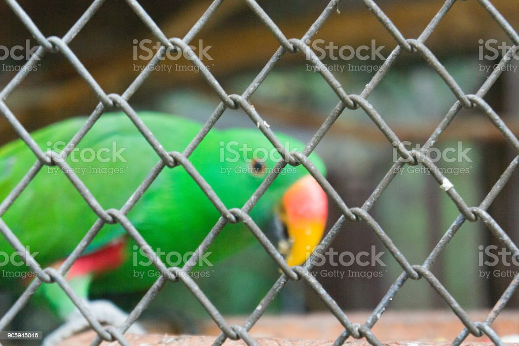 Close-Up Eclectus Parrot in the Cage. stock photo