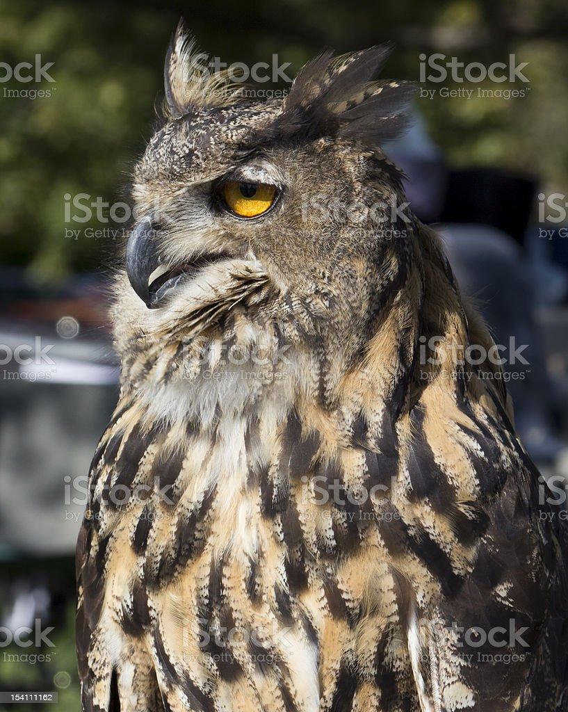 Closeup Eurasian Eagle Owl stock photo