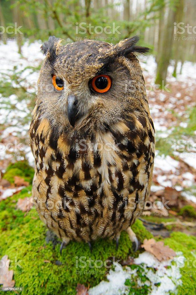 Nahaufnahme Eurasian eagle owl – Foto