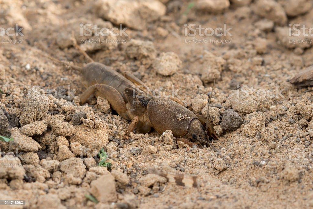 Closeup European mole cricket (Gryllotalpidae) digs the earth stock photo