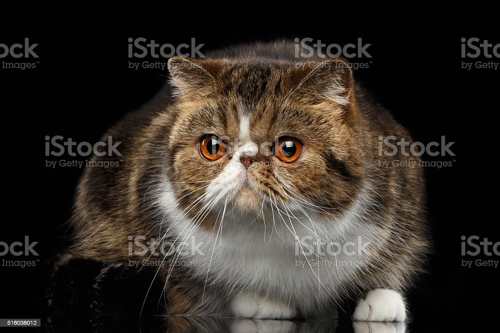 Em Closeup gato exóticos em espelho e olhando para a câmera - foto de acervo