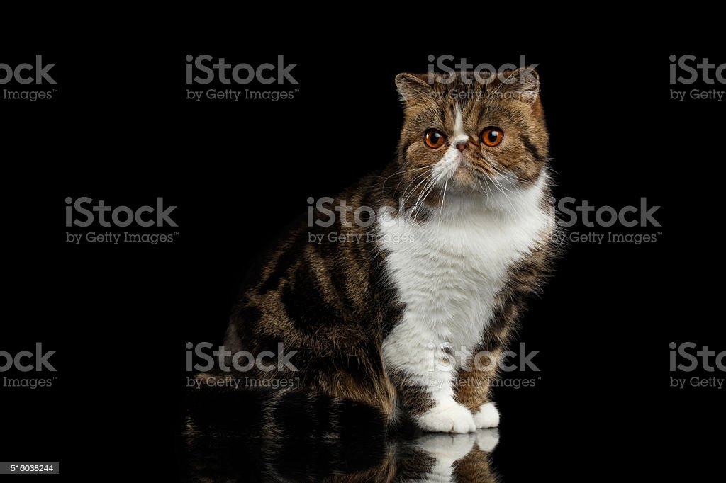 Closeup Exotic Cat Sits on mirror, Alertness Looking in Camera stock photo