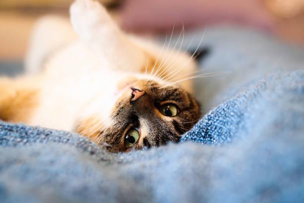 Closeup expression of a colorful cat lounging in bed an innocent of picture id1289748336?b=1&k=6&m=1289748336&s=612x612&w=0&h=dp b8ticdn eokpebsnp8fcuc micrr8ilegfpfzb 4=