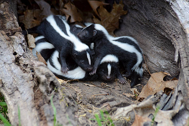 closeup family of baby skunks in hollow log. - skunk stock photos and pictures