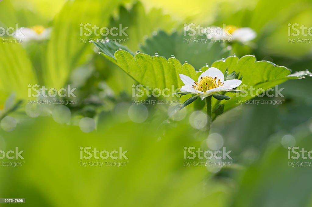 Крупным планом цветок клубники и листья с каплями росы стоковое фото