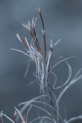 Close-up of the delicate flower stems in winter.