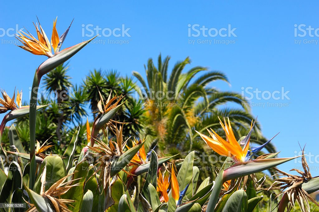 Close-up Flowering Bird of Paradise Plants royalty-free stock photo