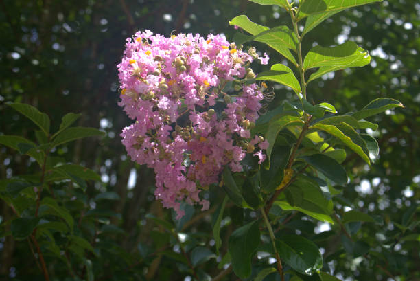 Close-up focus of light pink crepe myrtle bushes stock photo