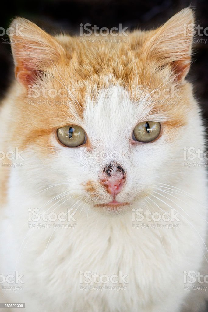 Close-up focus on the eyes of a domestic tabby cat stock photo