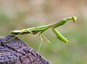 Closeup Focus Stacked Image of an Adult Carolina Mantid or Praying Mantis