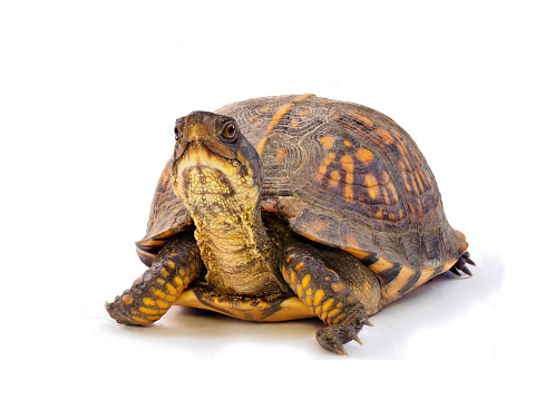 Closeup Focus Stacked Image of a Mature Eastern Box Turtle on a White Background