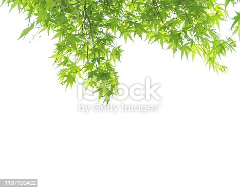istock Closeup fresh green leaves isolated on white background with copy space 1137190422