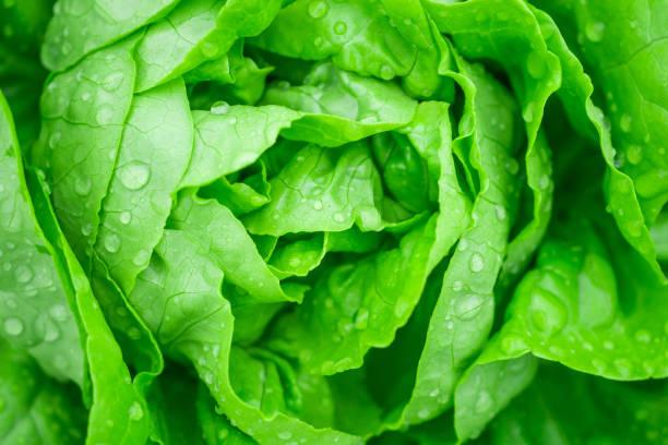 特寫鏡頭新鮮有機綠葉生菜沙拉植物在水培蔬菜農場系統 - 生菜 個照片及圖片檔