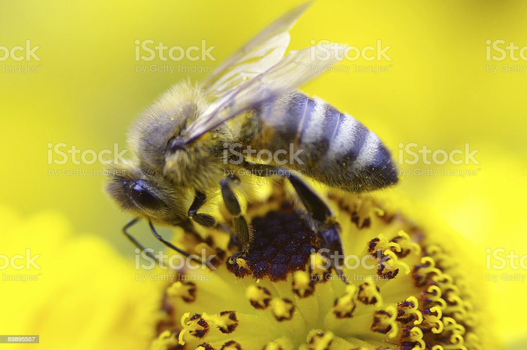Closeup from a bee royalty-free stock photo