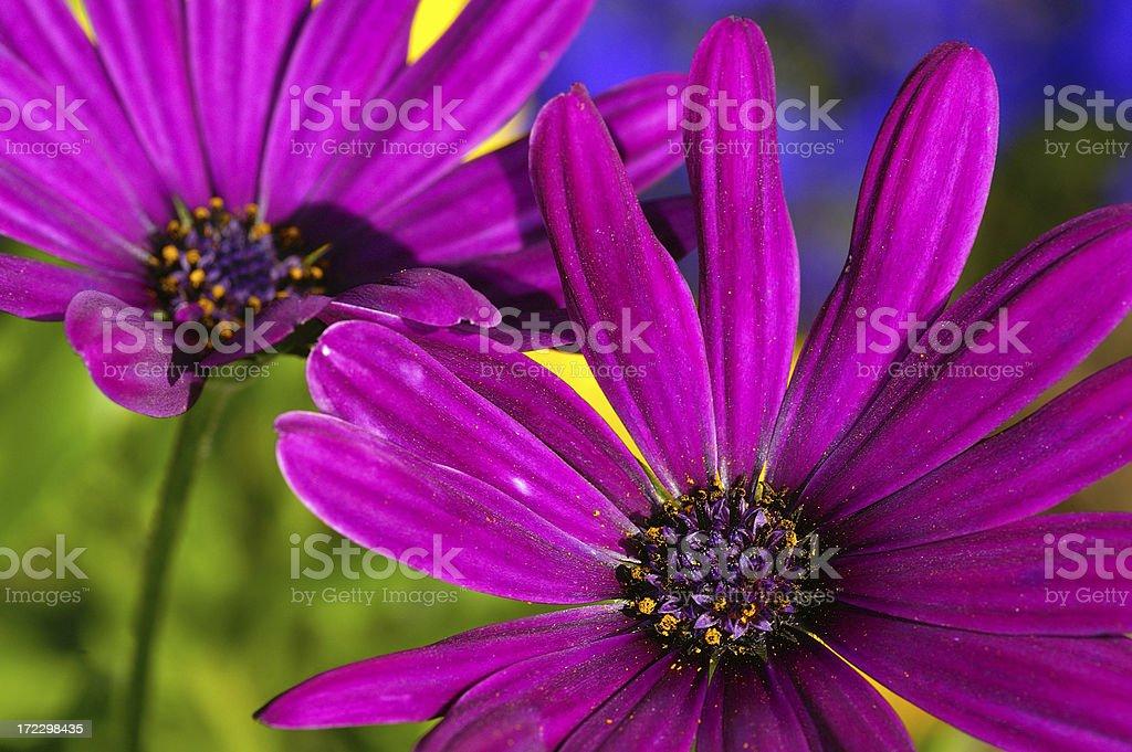 Closeup from purple Kapastern royalty-free stock photo