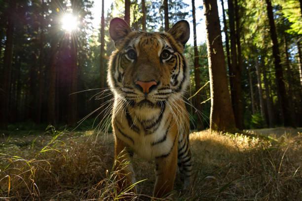 Nahaufnahme vor dem sibirischen Tiger mit Sonnenstrahlen. Gefährliche Nahaufnahme von Wildtieren. Panthera tigris altaica – Foto