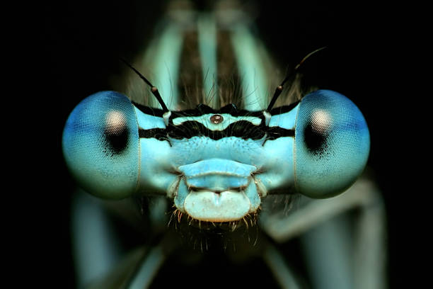 close-up front view of a dragonfly's eyes - 蜻蜓 個照片及圖片檔