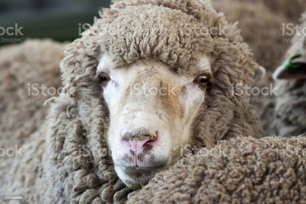 Closeup front view of Sheep stock photo