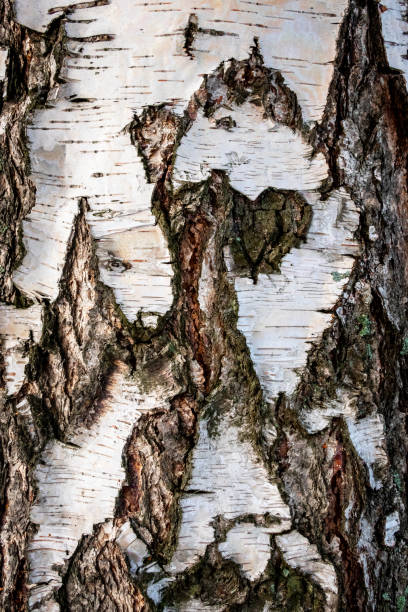 Closeup full frame of a natural white birch with cracked bark and abstract pattern. stock photo