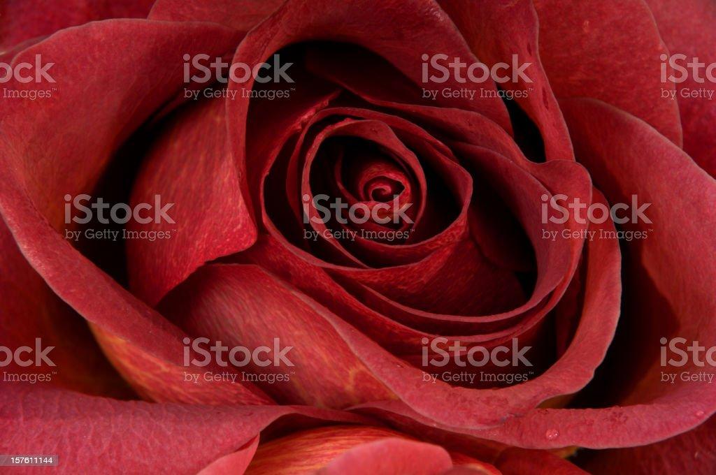 Foto De Closeup De Rosa Vermelha Completo Do Papel De Parede E Mais Fotos De Stock De Abstrato