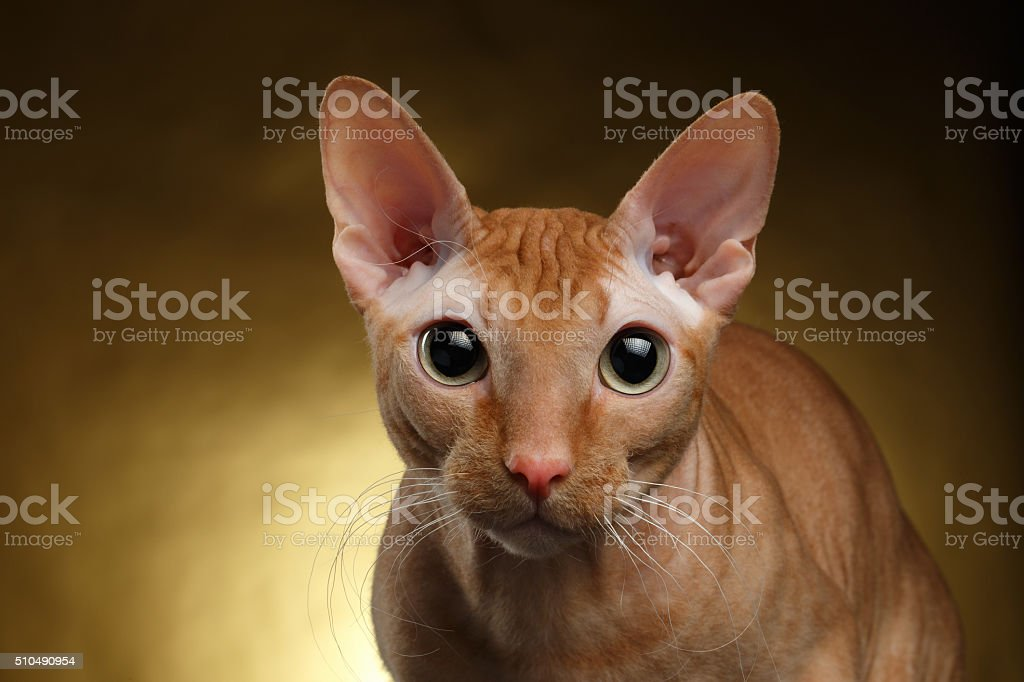 Closeup Funny Sphynx Cat Curiously Looking in camera on Gold stock photo