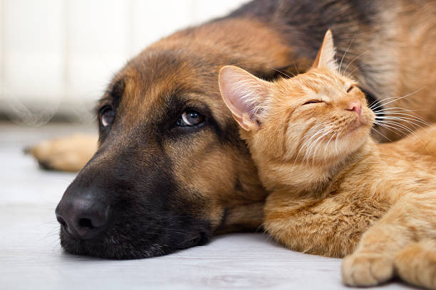 Close-up German Shepard laying next to cat stock photo