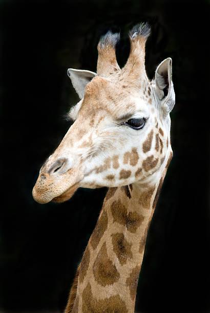 Close-up giraffe isolated against black background stock photo