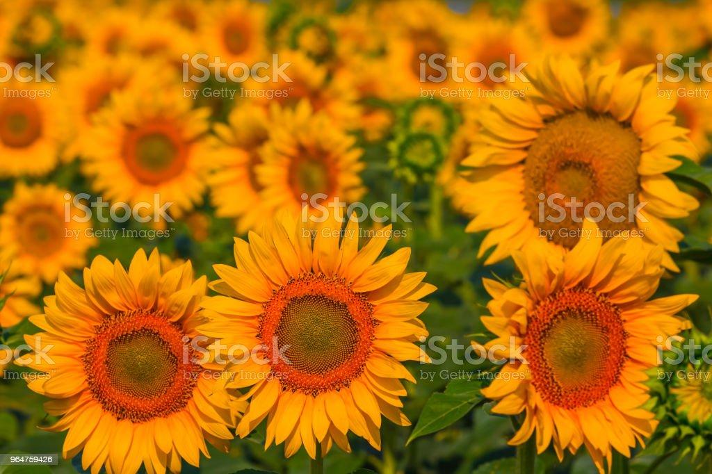 closeup golden sunflowers field royalty-free stock photo