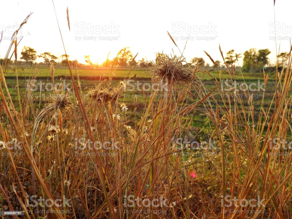 Closeup grass flower in view suset stock photo
