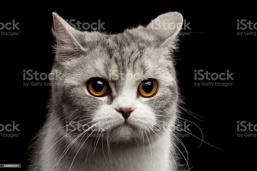 Closeup Gray Scottish Straight Cat Looks Pained Isolated on Black stock photo